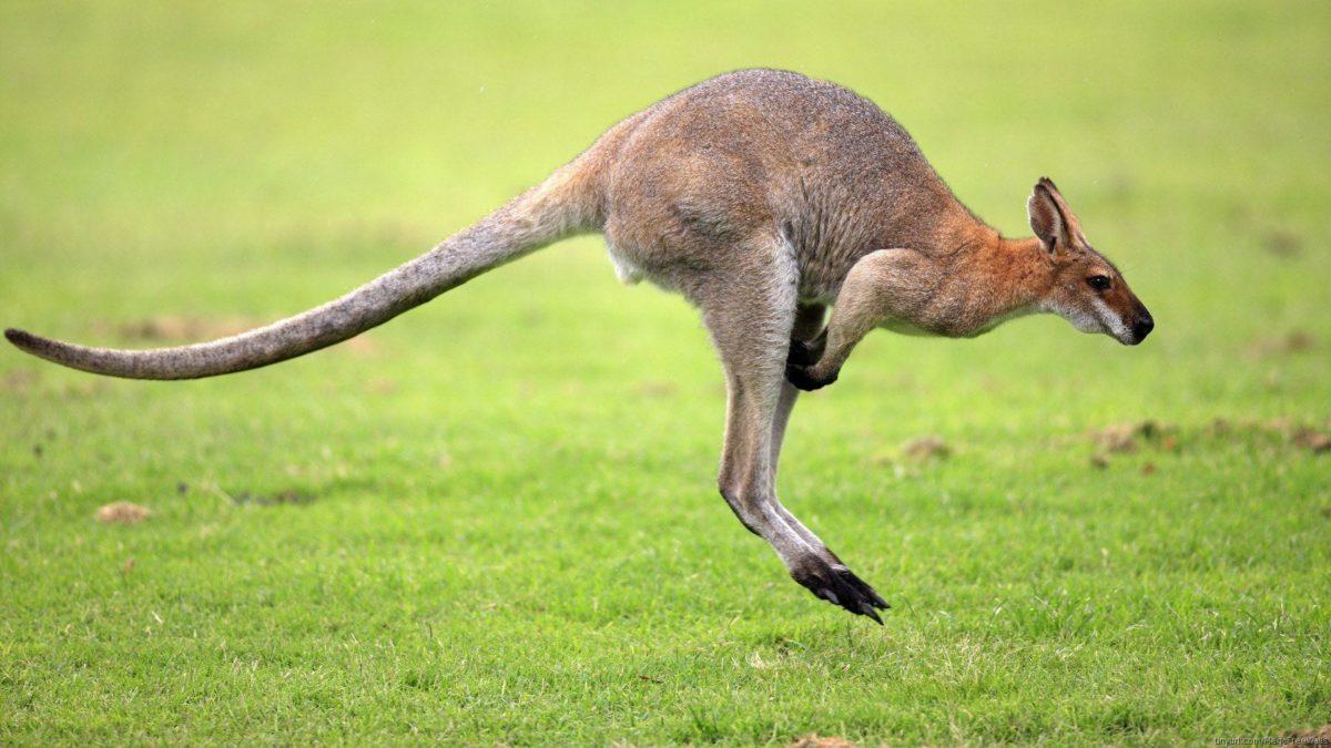 Kangaroo HD Wallpapers | Kangaroo Pictures Download | Cool Wallpapers