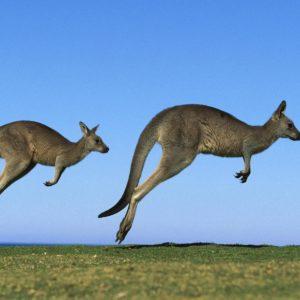 download Kangaroo HD Wallpapers | Kangaroo Pictures Download | Cool Wallpapers