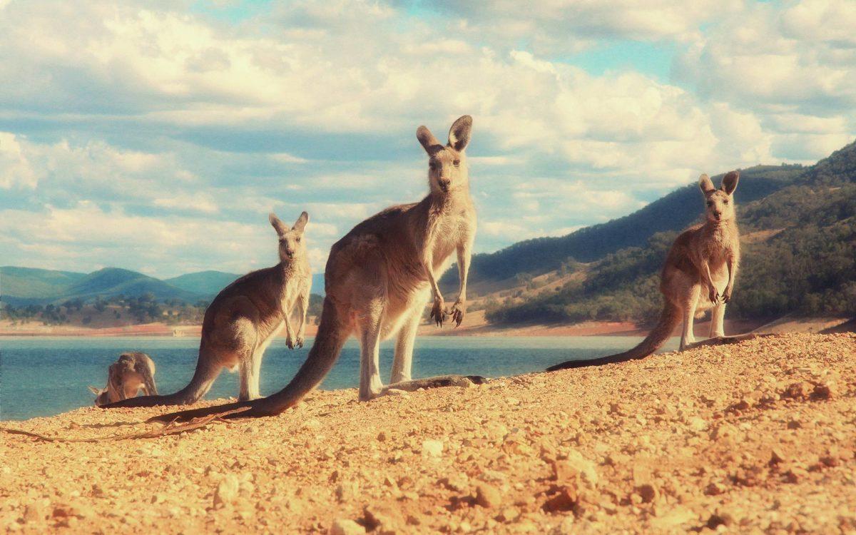 41 Kangaroo Wallpapers | Kangaroo Backgrounds