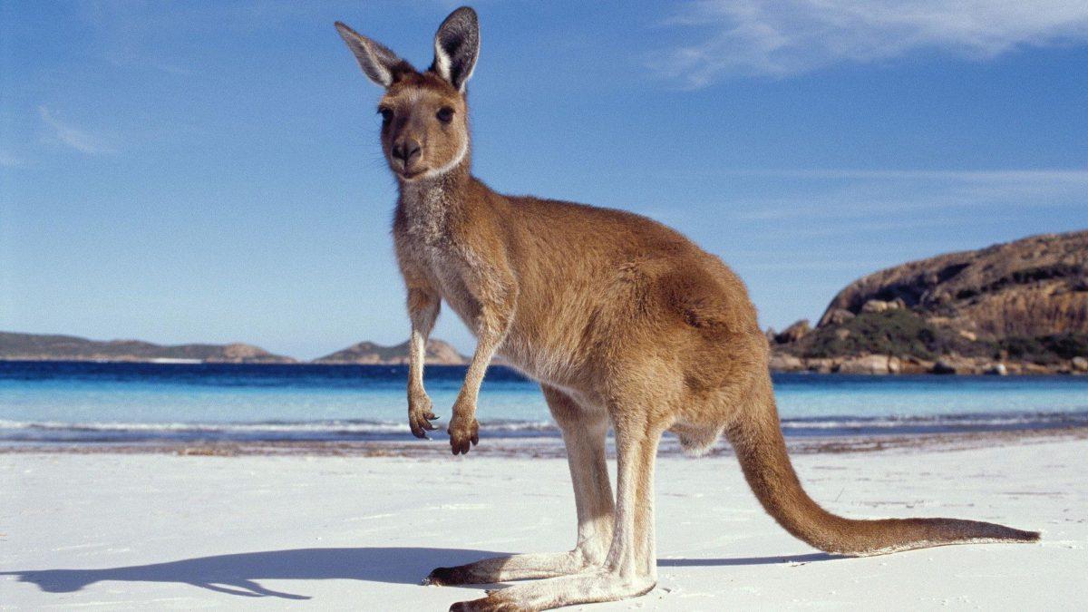 Kangaroo HD Wallpapers – HD Wallpapers Inn
