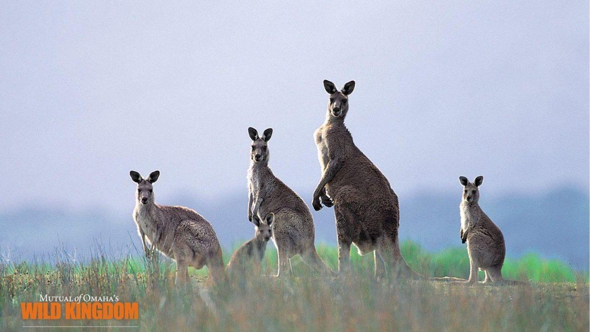 Kangaroo Wallpaper – 1920×1080 wallpaper download –