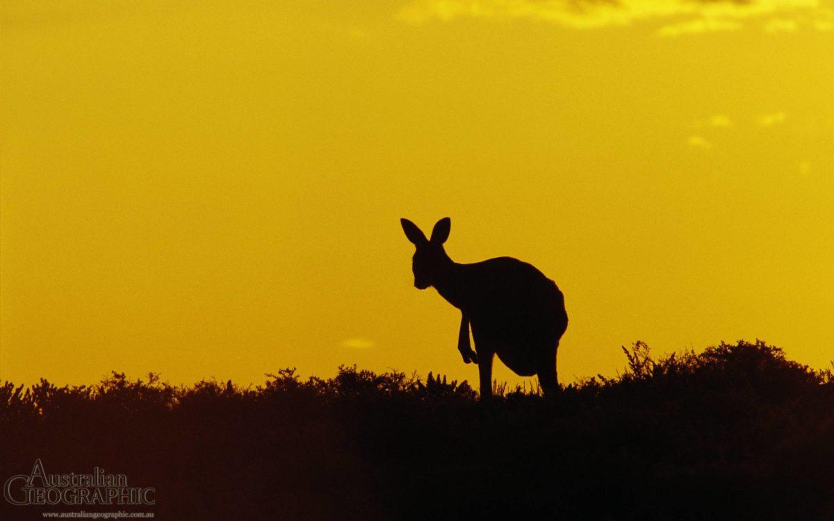 Kangaroo Sturt National Park New South Wales The (id: 186347 …