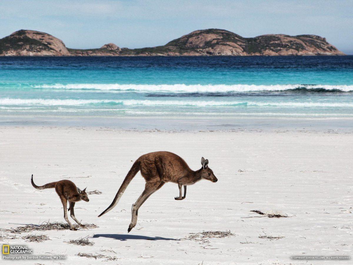 Kangaroo Picture — Animal Wallpaper — National Geographic Photo …