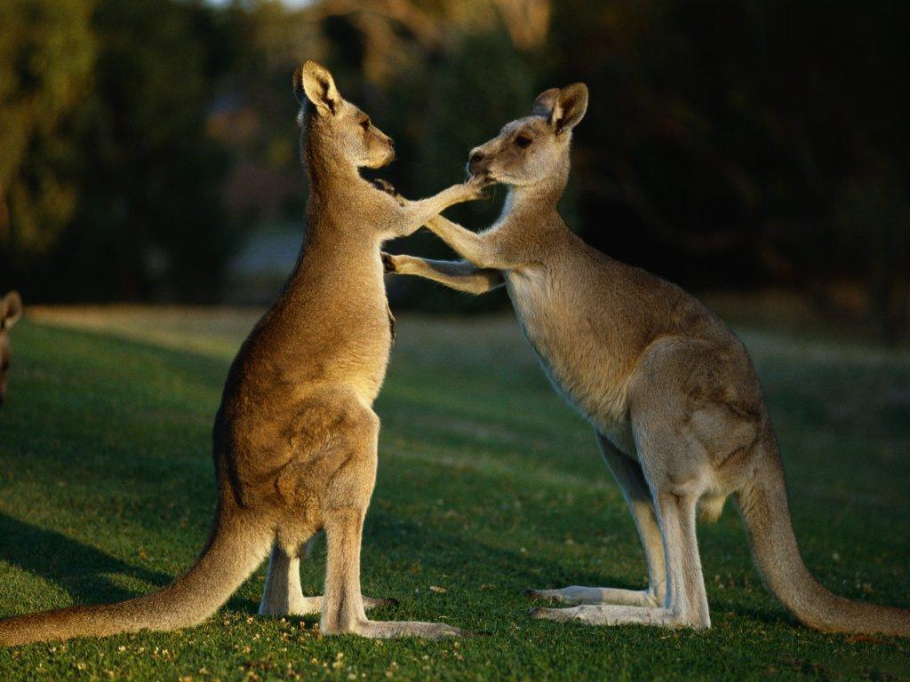 Animal Kangaroos wallpaper – Animal Backgrounds