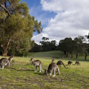 download Kangaroo Eating Grass Wallpaper Computer | ardiwallpaper.