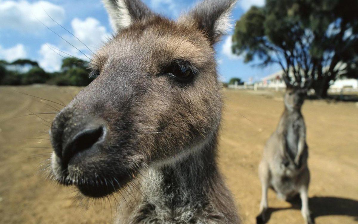 Kangaroo-HD-Wallpaper-11 – Animals Planent.
