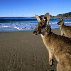 download 41 Kangaroo Wallpapers | Kangaroo Backgrounds