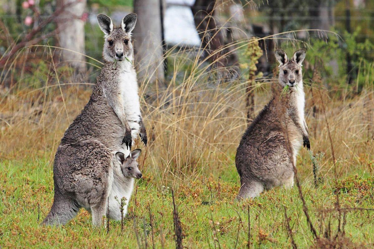 kangaroo wallpaper – Animal Backgrounds