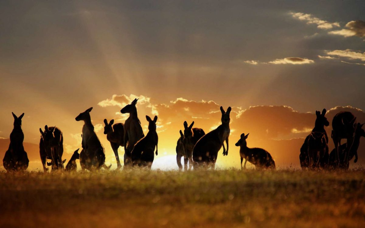 Download Kangaroo Wallpaper 8977 1920×1200 px High Resolution …