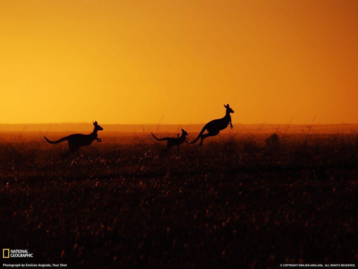 Kangaroo Picture – Animal Wallpaper – National Geographic Photo of …
