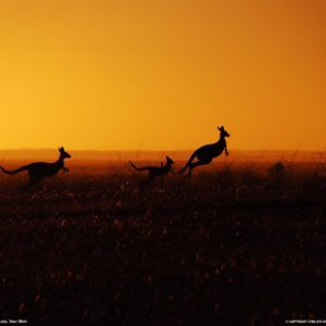 download Kangaroo Picture – Animal Wallpaper – National Geographic Photo of …