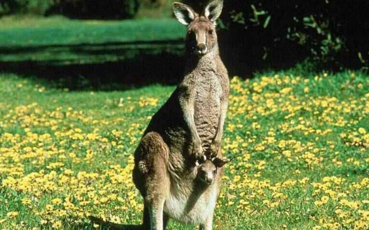 Kangaroo desktop wallpaper – Animal Backgrounds