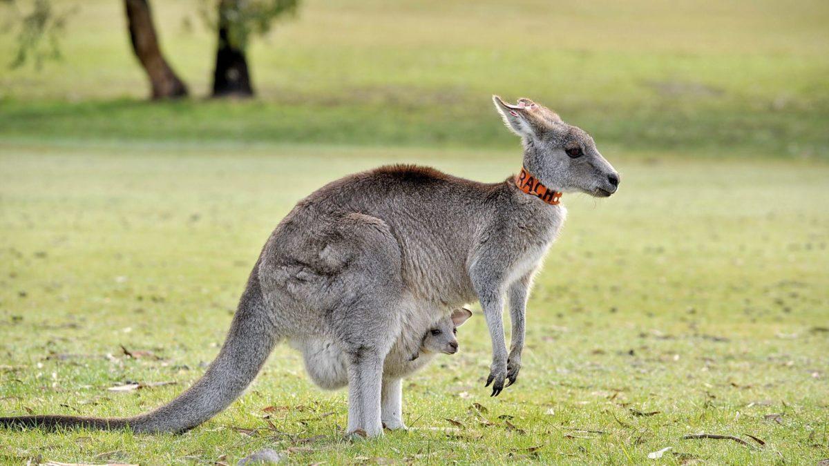 Kangaroo Computer Wallpapers, Desktop Backgrounds 2560×1440 Id: 373736