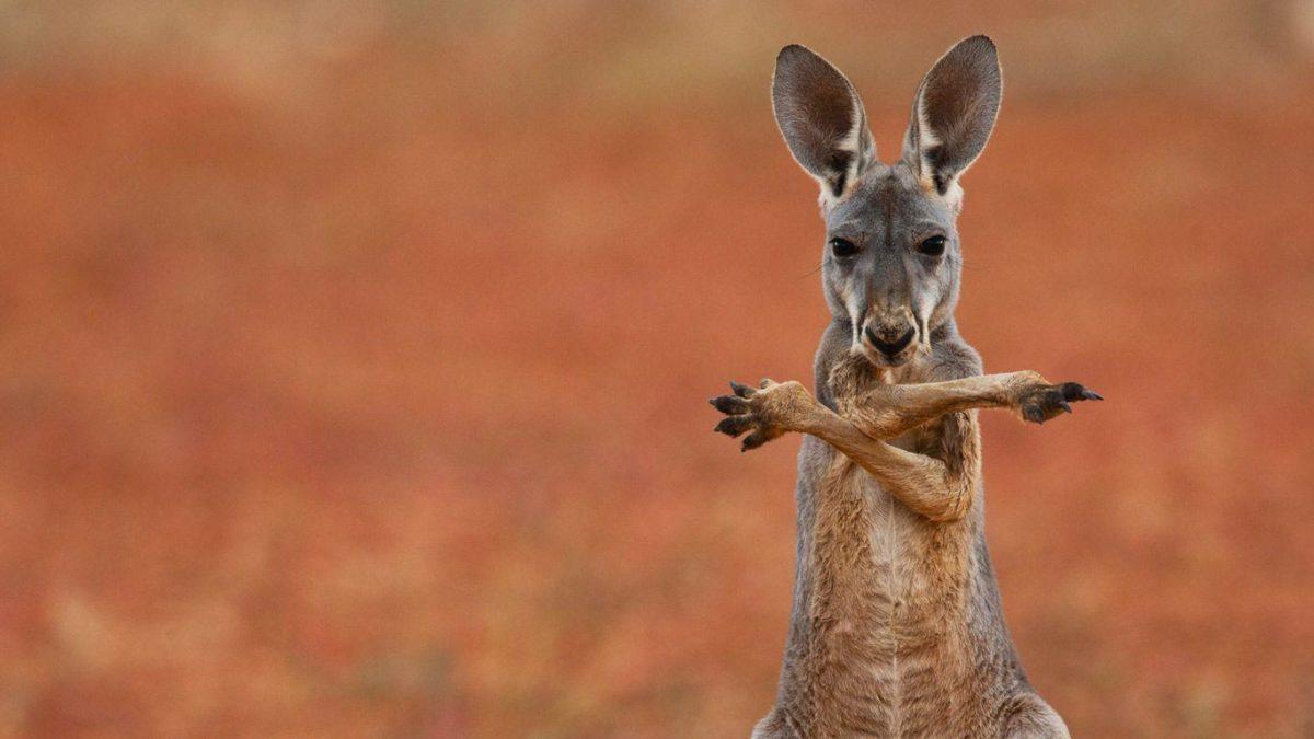 A red kangaroo in the Sturt Stony Desert, Australia – Bing …