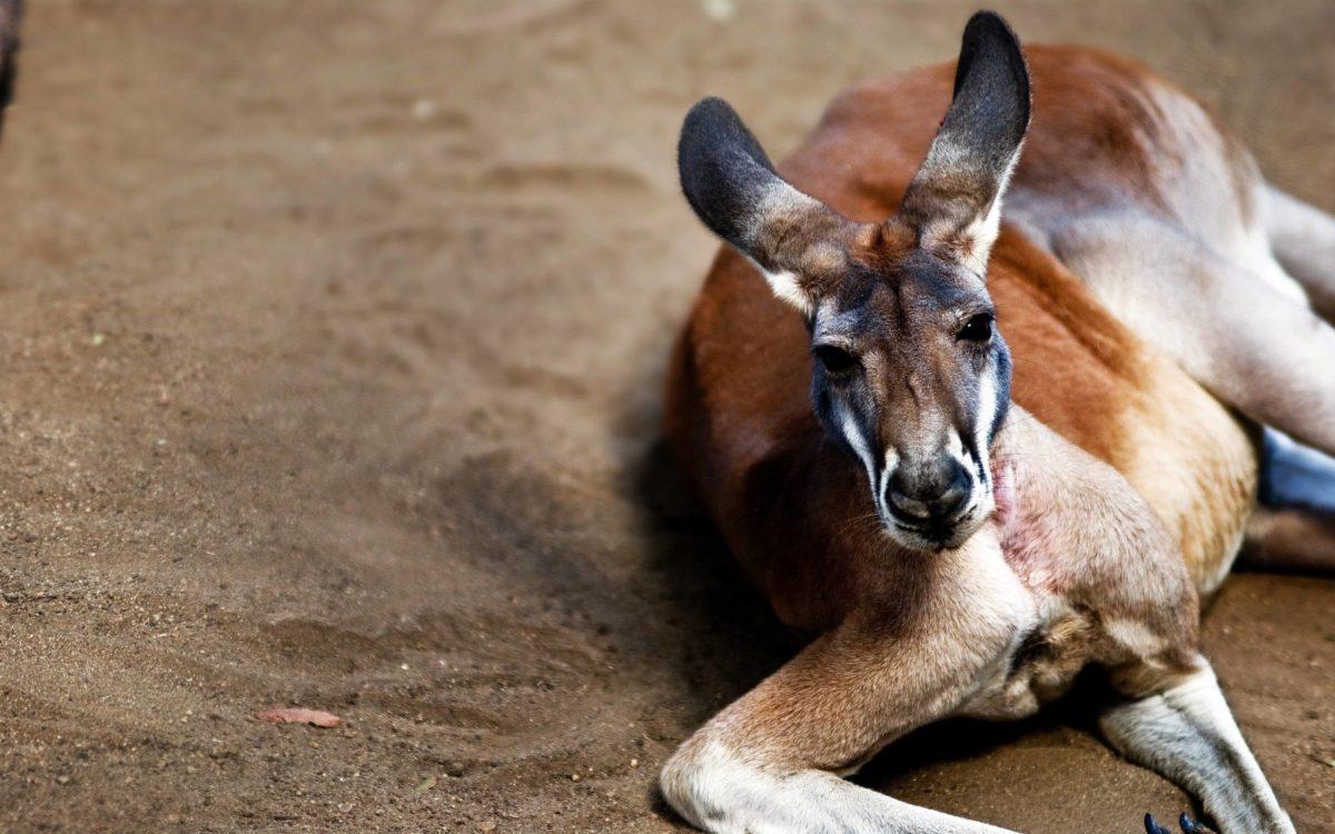 Kangaroo Wallpapers | Pictures