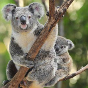 download 41 Koala Wallpapers   Koala Backgrounds