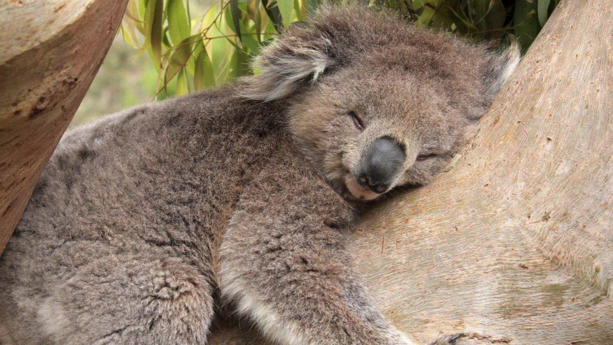 Fonds d'écran Koala : tous les wallpapers Koala