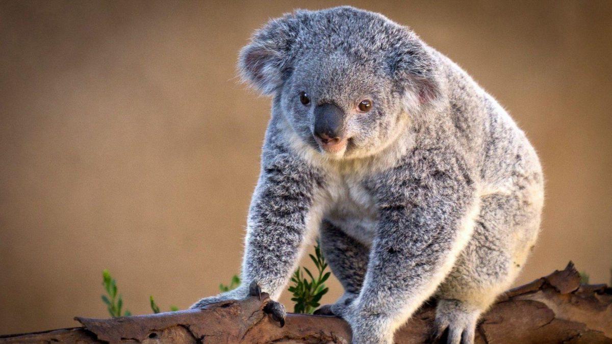 Download Koala Wallpaper 12955 1920×1080 px High Resolution …