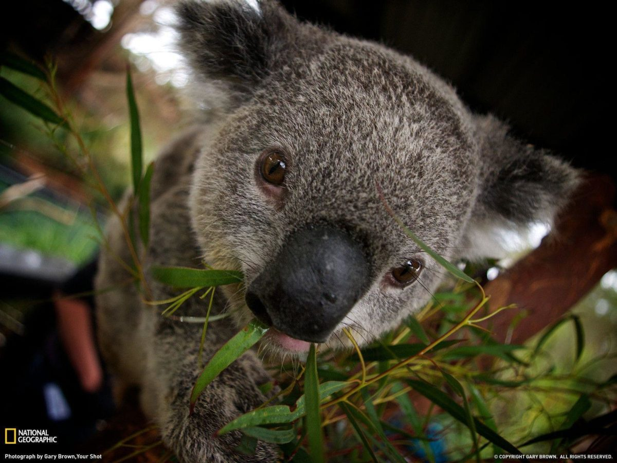 Koala Picture – Animal Wallpaper – National Geographic Photo of …