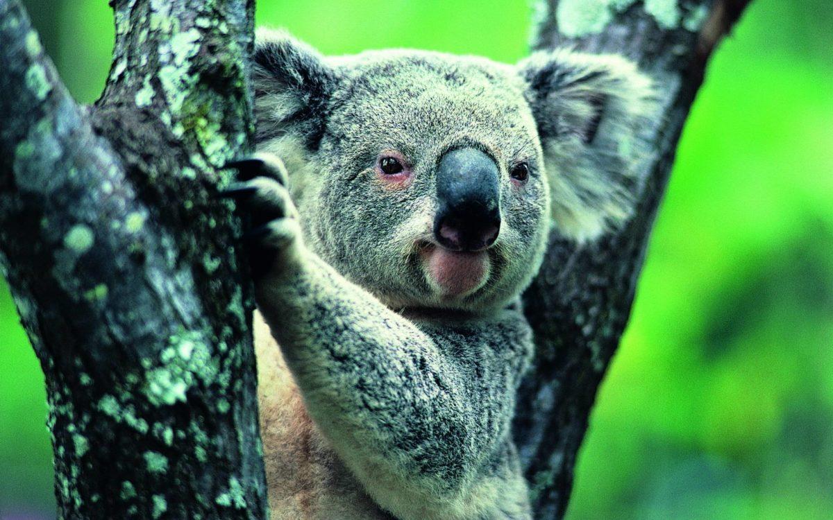 Koala Widescreen Wallpapers – HD Wallpapers Inn