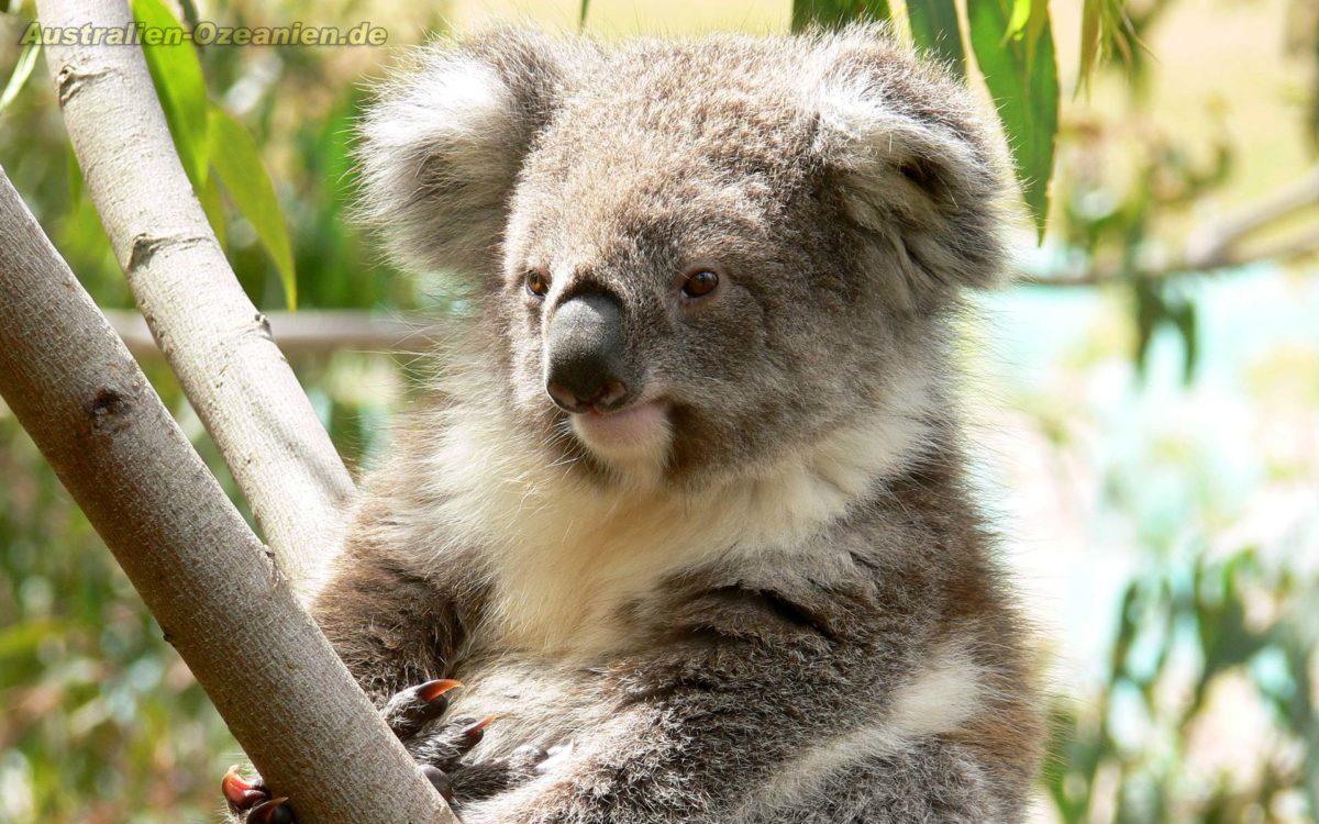 Koala Wallpapers – Full HD wallpaper search
