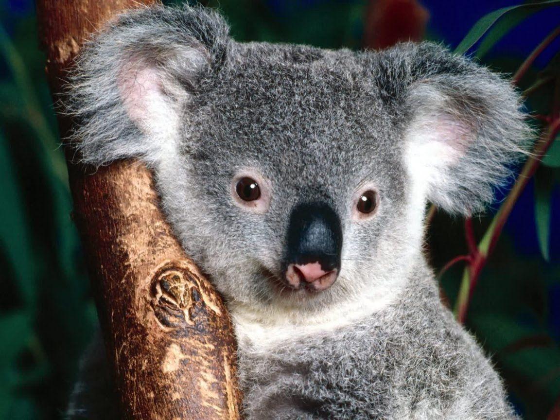 Koala Wallpapers | HD Background Point