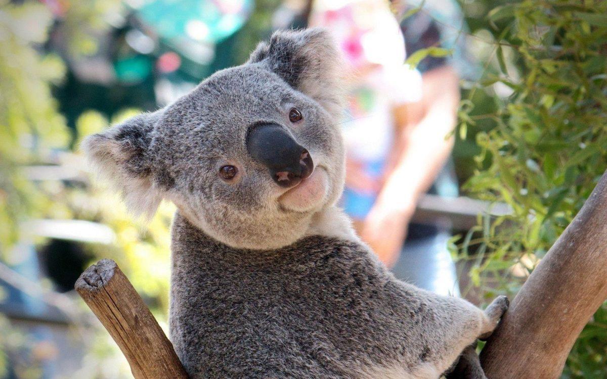 Download Koala Wallpaper 12964 1680×1050 px High Resolution …