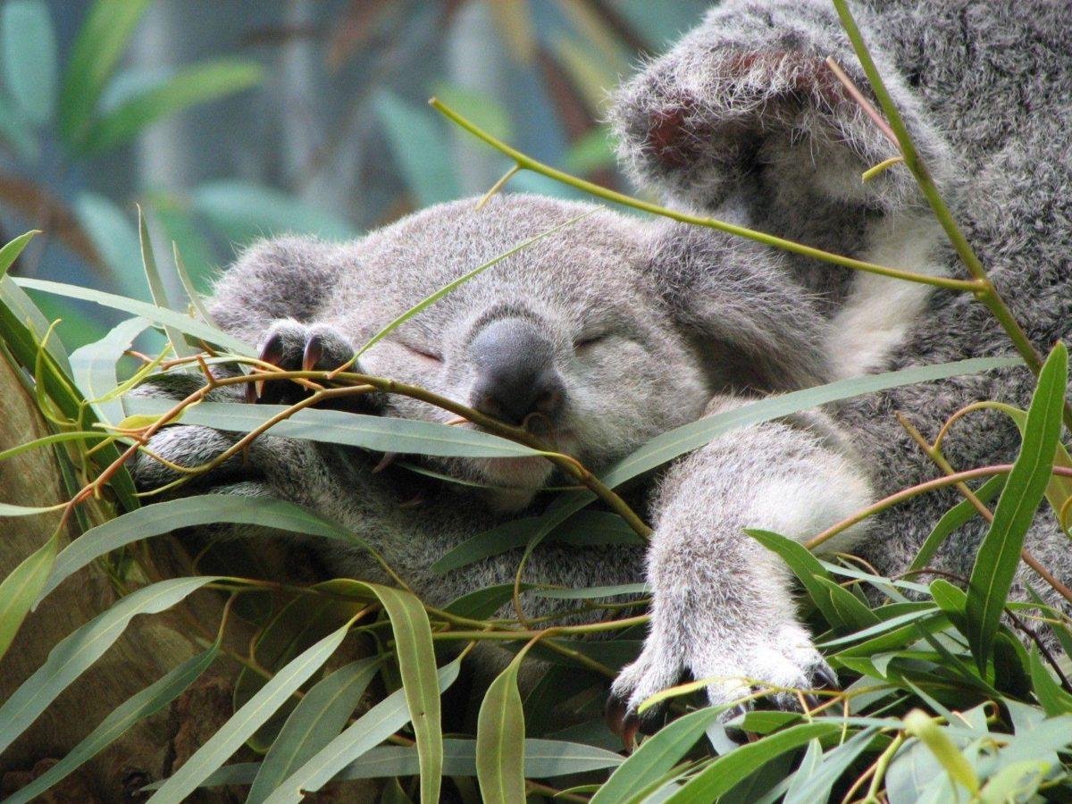 Download Koala Wallpaper 12963 1600×1200 px High Resolution …