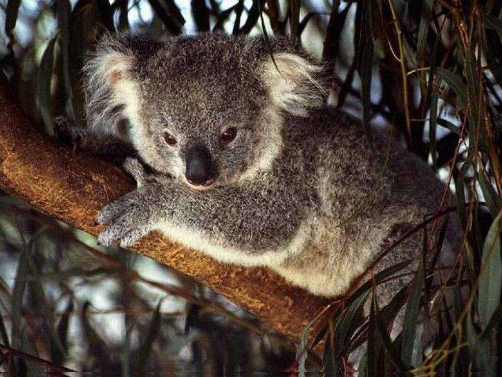 Koala Wallpapers (Wallpaper 1-4 of 4)