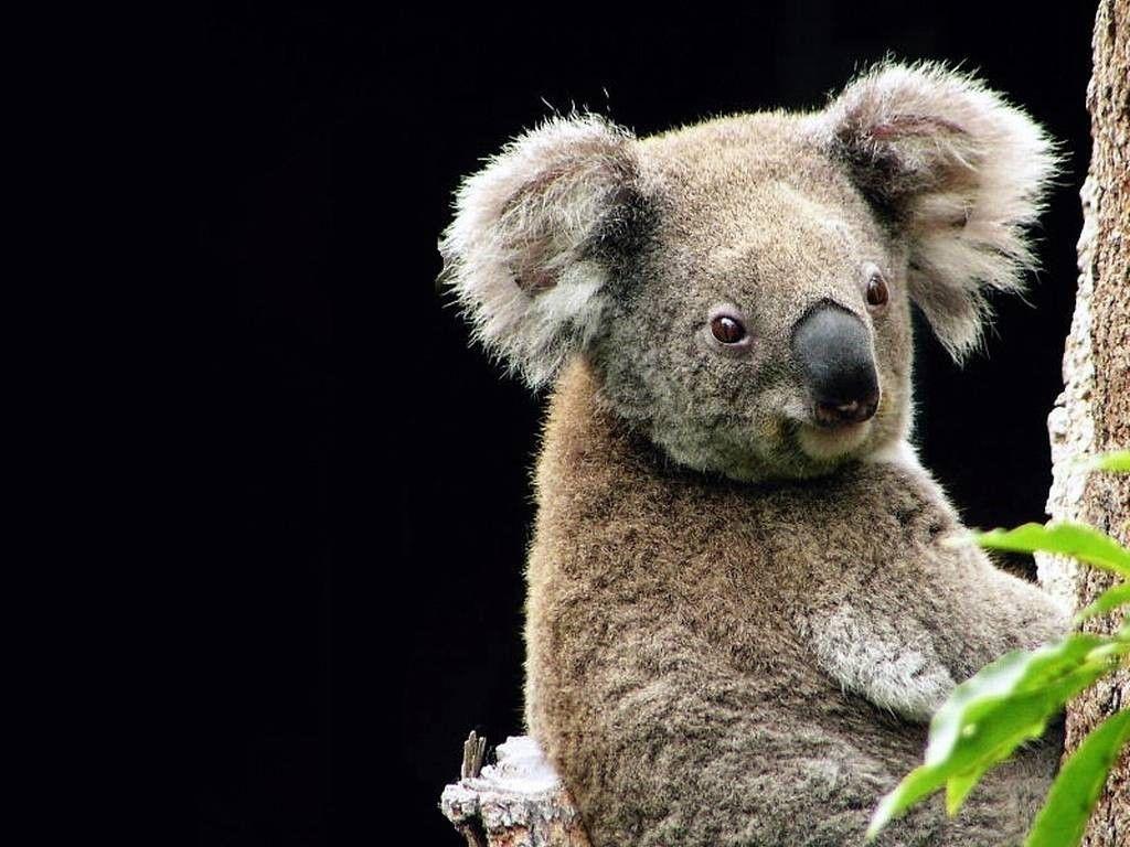 My Free Wallpapers – Nature Wallpaper : Koala