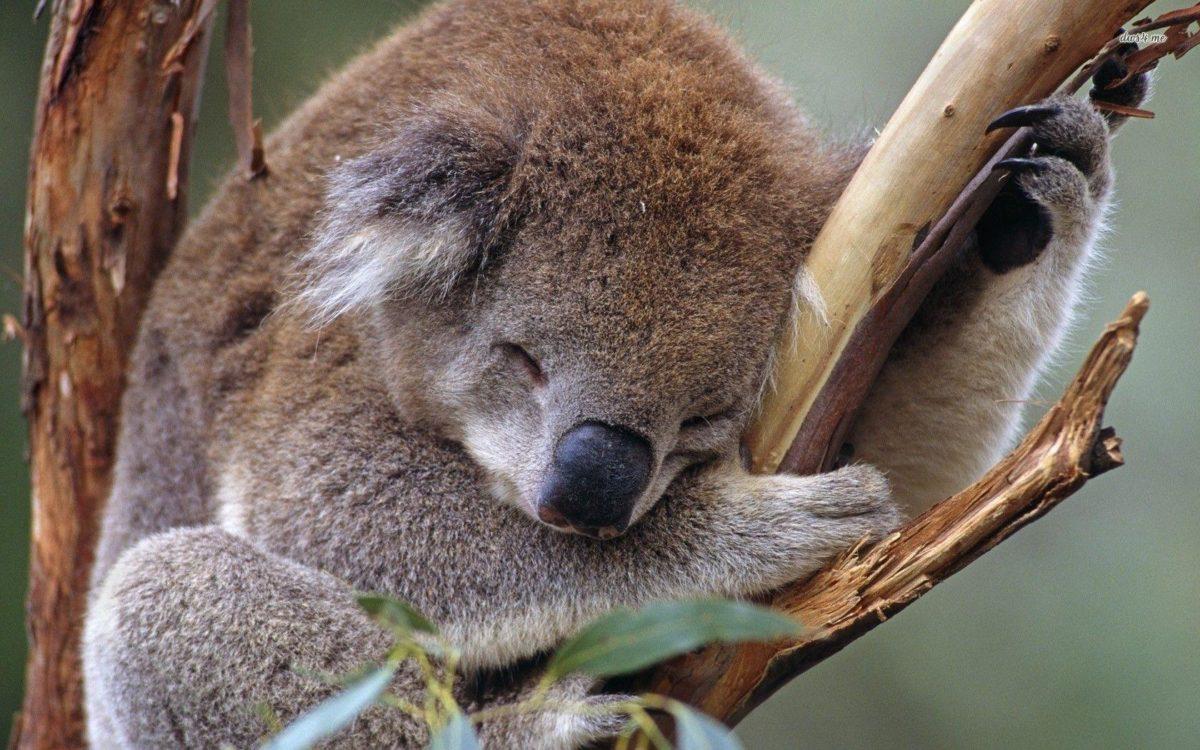 Sleeping koala wallpaper – Animal wallpapers – #