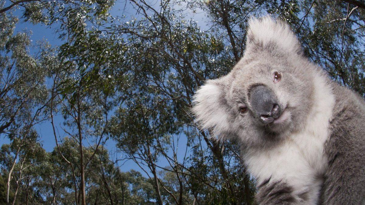 Koala hq wallpaper – Animal Backgrounds