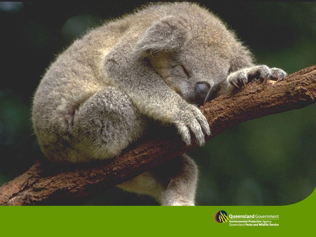 sleeping koala wallpaper – Animal Backgrounds