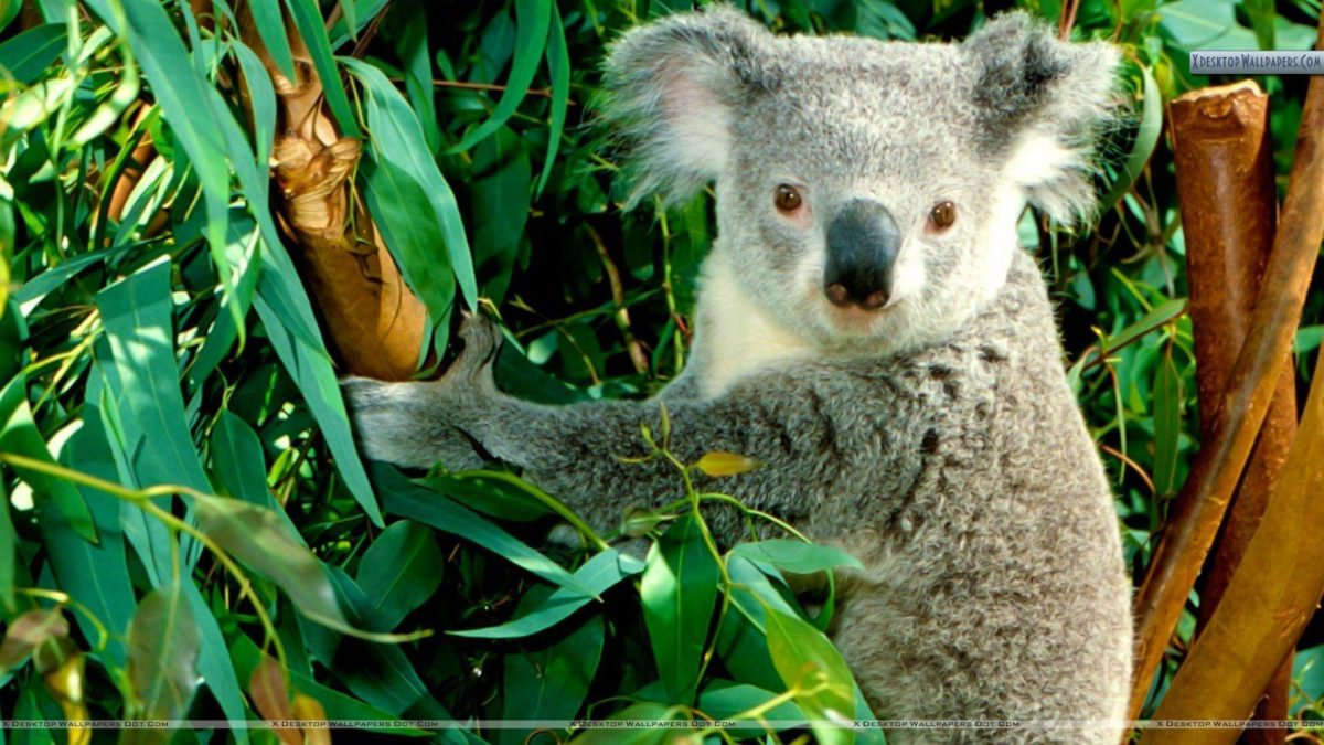 Hanging Out Koala Wallpaper
