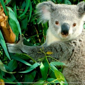 download Hanging Out Koala Wallpaper