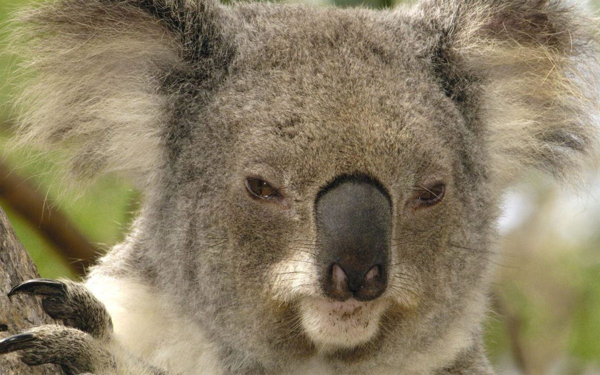 Brisbane Australia – koala wallpaper – 1440×900 wallpaper download –