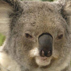 download Brisbane Australia – koala wallpaper – 1440×900 wallpaper download –