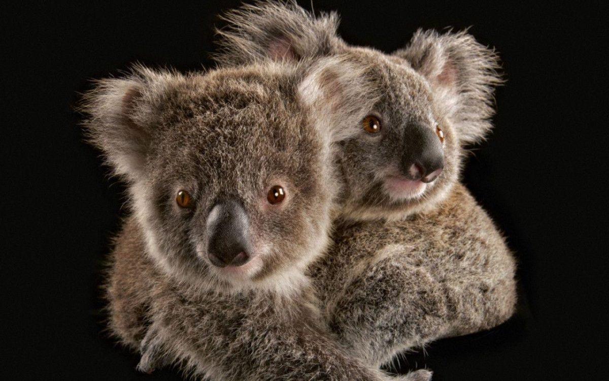 Koala – Australia Wallpaper (32220209) – Fanpop