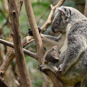 download Koala wallpaper by Shutter-Shooter on DeviantArt