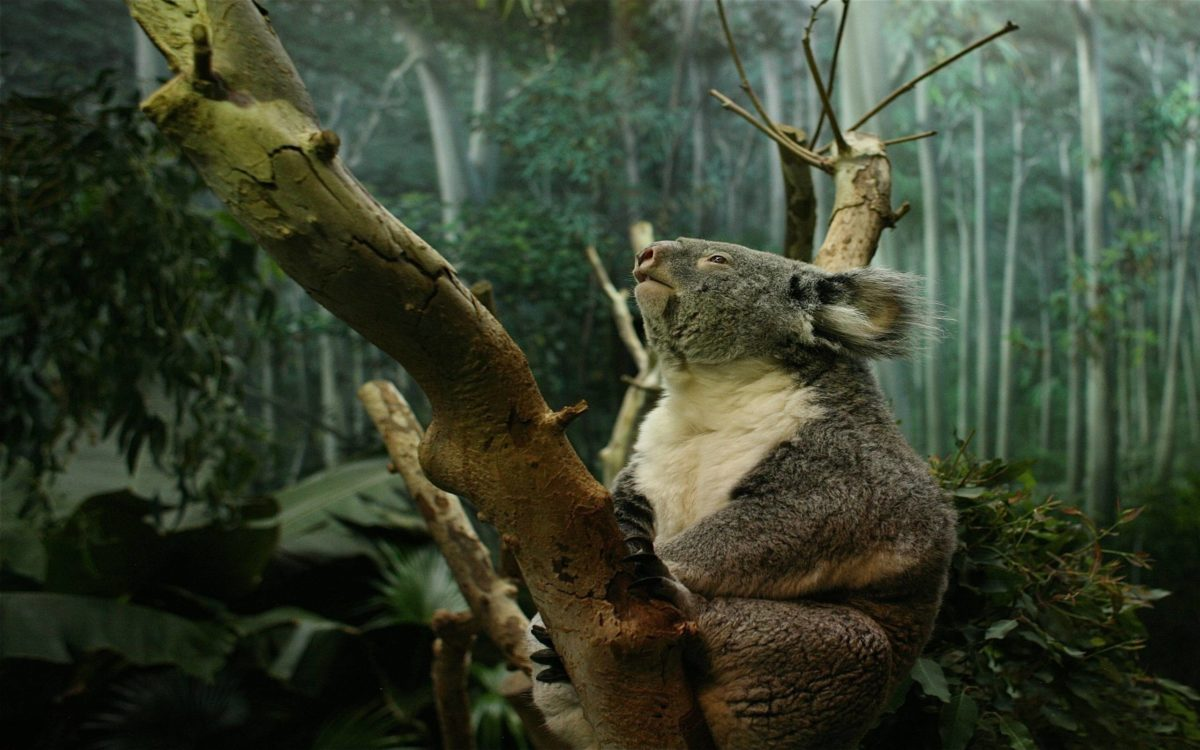Koala HD background wallpaper – Animal Backgrounds