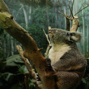 download Koala HD background wallpaper – Animal Backgrounds