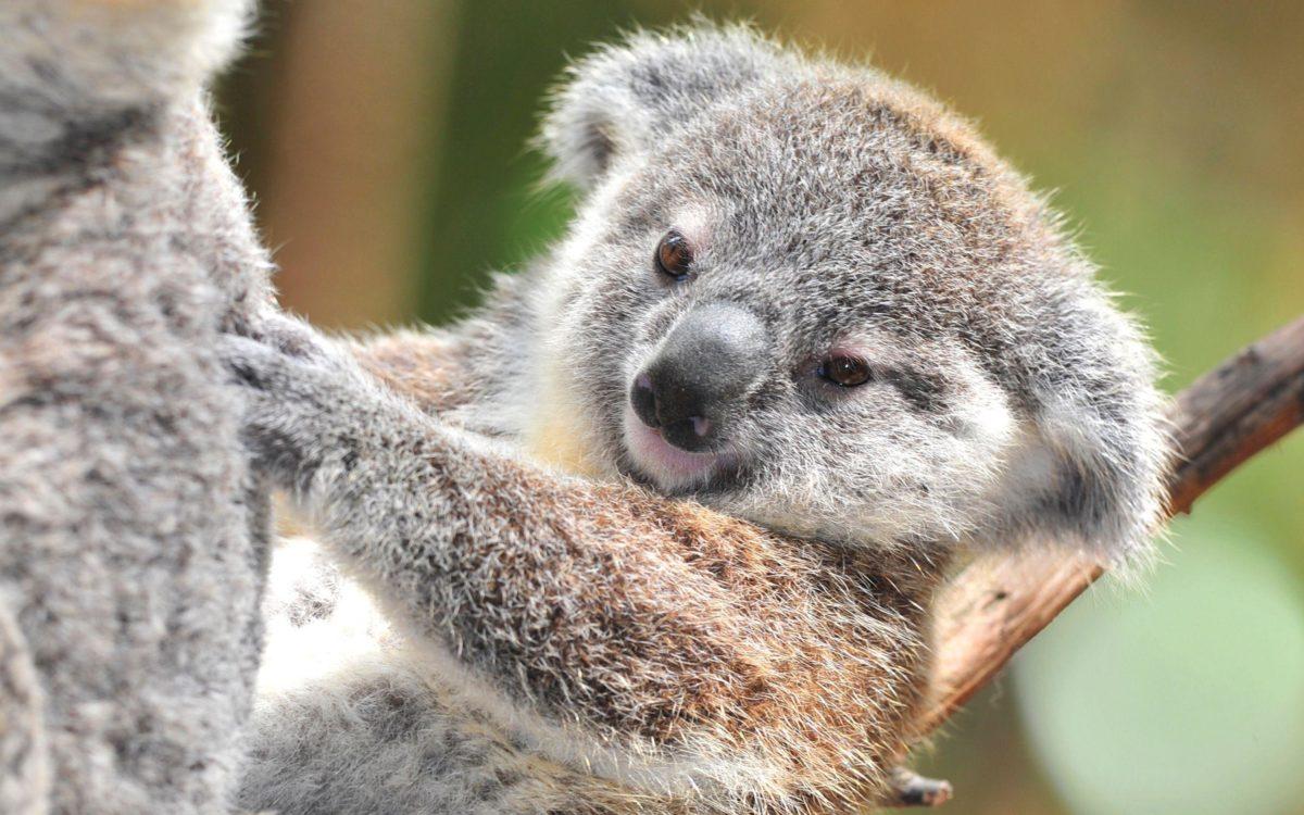 Download Koala Wallpaper 12958 2560×1600 px High Resolution …