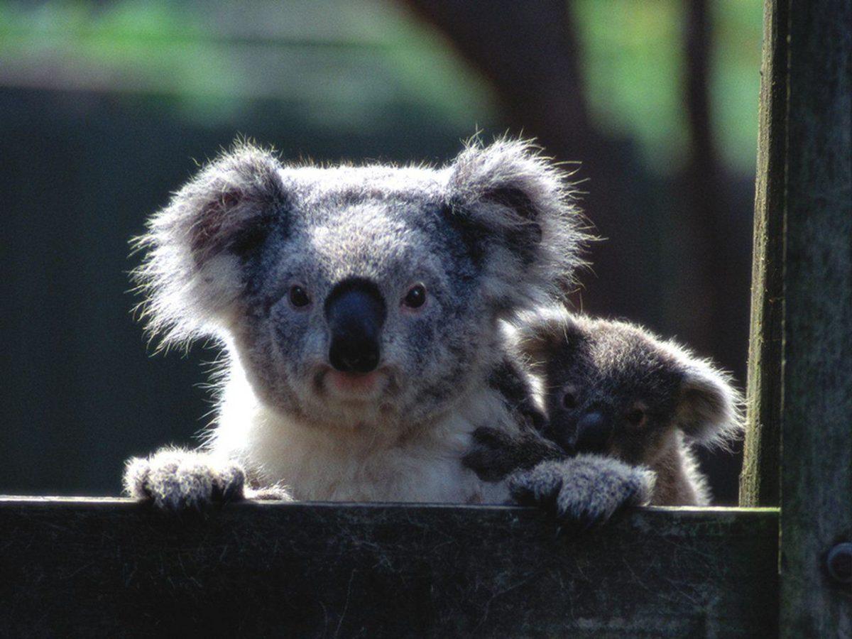 Koala Wallpaper | Animals Wallpapers Gallery | PC Desktop Wallpaper