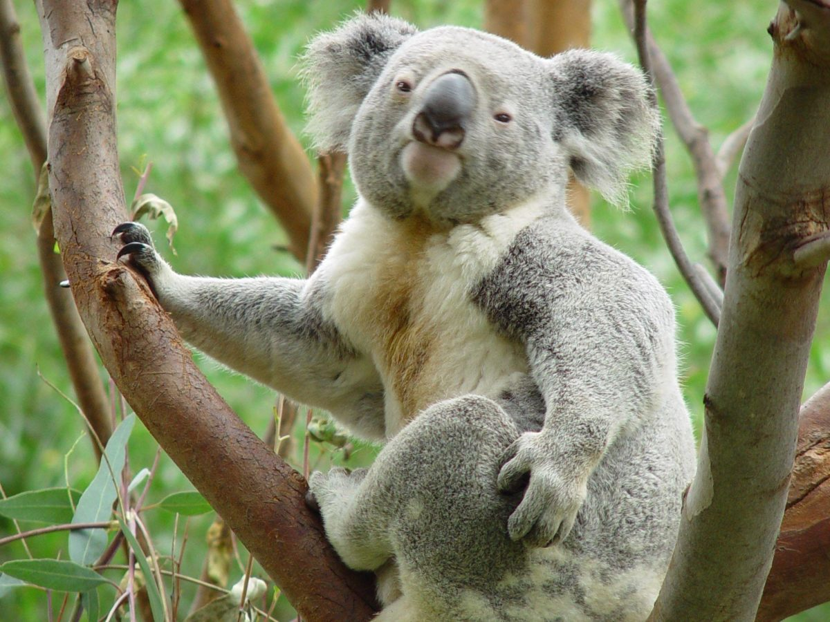 Koala Wallpaper Windows 7 25 Nice Wallpaper 960×800 HD Wallpaper …