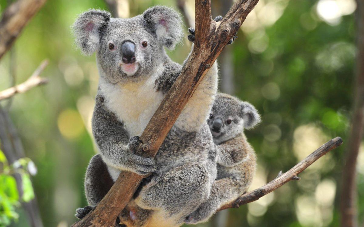 Wallpapers For > Cute Koala Wallpaper