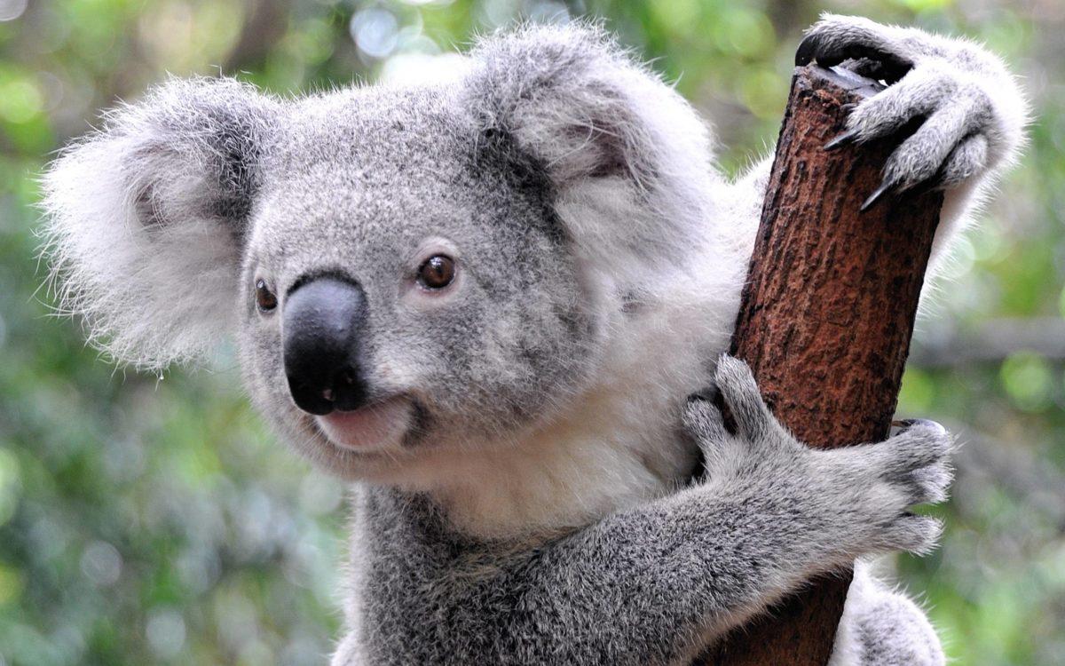 Koala Computer (id: 168801) | WallPho.com