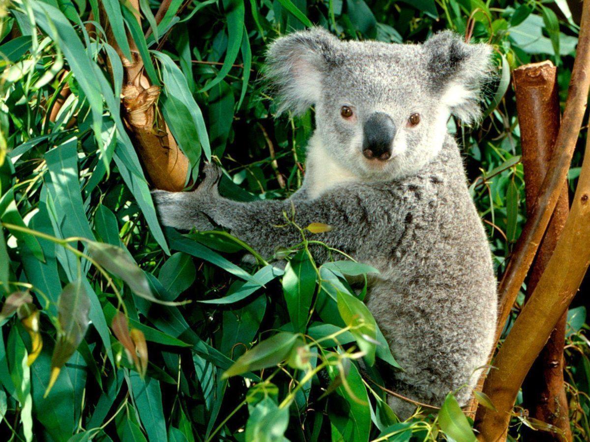 Koala – Australia Wallpaper (23340501) – Fanpop