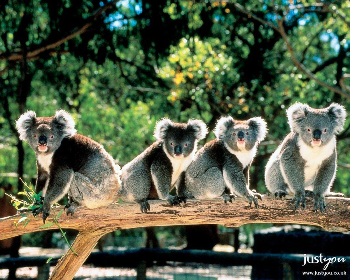43 Koala Wallpapers | Koala Backgrounds