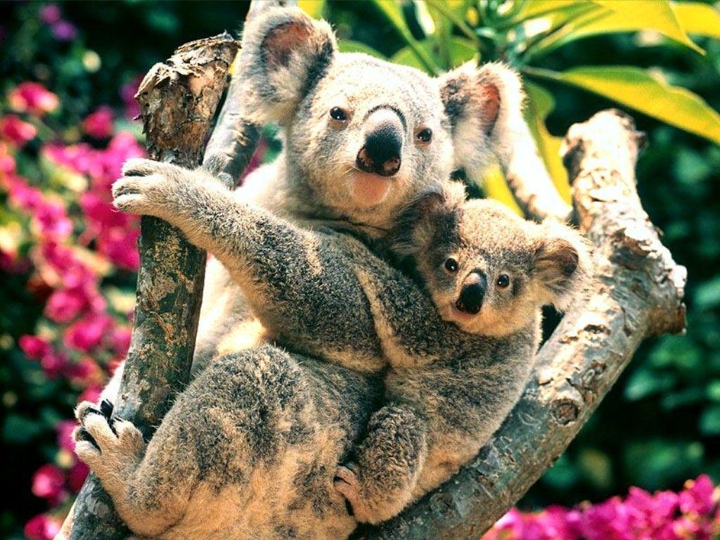 Animals For > Koala Wallpaper Windows 7