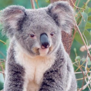 download Wallpapers For > Koala Wallpaper Windows 7